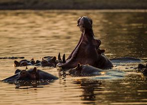 Hippo at the Mana Pools