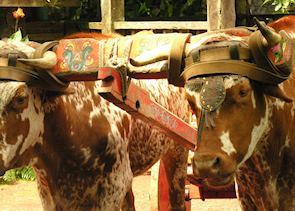 Traditional Ox-cart in Costa Rica
