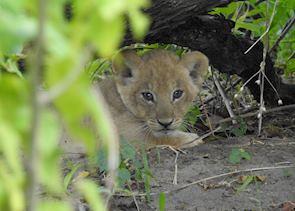 Lion cub, Khwai Concession, Okavango Delta