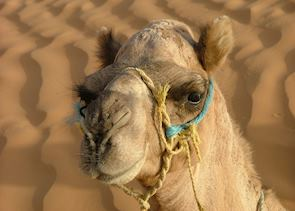 Camel at Ksar Ghilane, Tunisia
