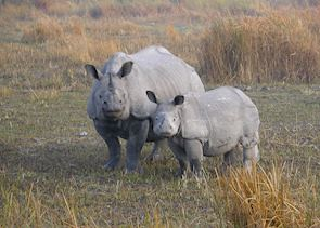 One-horned rhinos, Kaziranga National Park, India