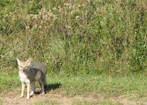 Grey fox in the Ibera wetlands