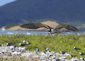 Sooty Terns, Bird Island