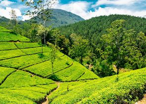 Nuwara Eliya tea estate