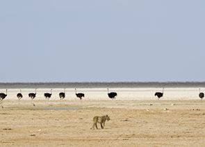 Lion and ostrich on the Etosha pan, Namibia