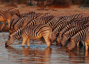 Zebra drinking from an Etosha waterhole