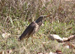 Striated Heron, Chambal Safari Lodge, India