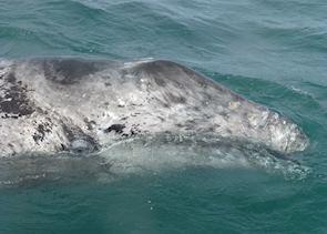 Grey Whale, Scammon's Lagoon, Guerrero Negro