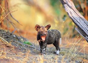 Wild dog puppy yawning, Kwando Concession, Botswana