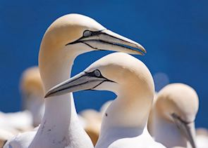 Gannet colony at Bonaventure Island, near Percé