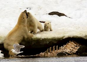 A mother protects her cub from a male bear