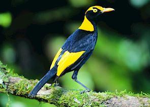 Regency Bower Bird, Lamington National Park, Australia