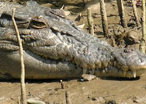Crocodile, Daintree River