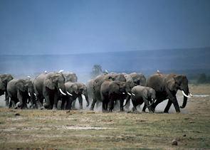 Breeding herd of elephant in Amboseli National Park