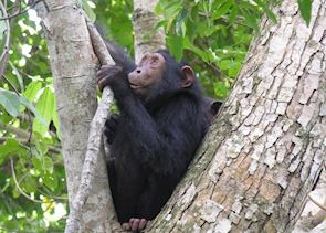 Chimpanzee, Mahale Mountains National Park