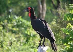 Ground Hornbill, Katavi National Park