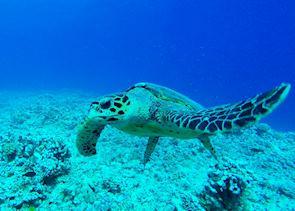 Turtle, Bora Bora, French Polynesia