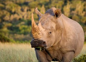 White rhino, Eastern Cape
