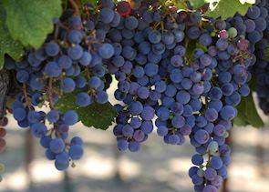 Sonoma County grapes