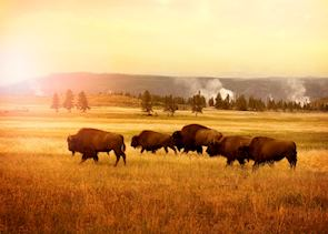 Herd of bisons in Yellowstone