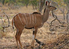 Female kudu, Kafue National Park