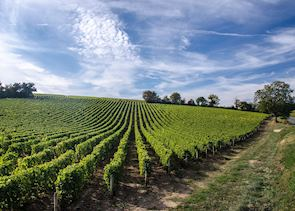 Vineyard, Loire Valley