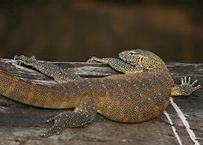 Water monitor lizard, Kafue National Park