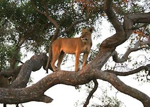 Tree climbing lion in the Shinde Concession