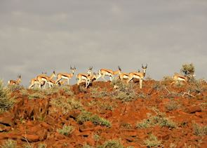 Springbok in Damaraland