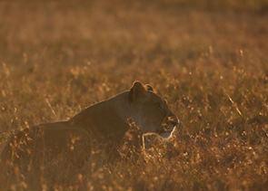 Lioness from Kicheche Laikipia