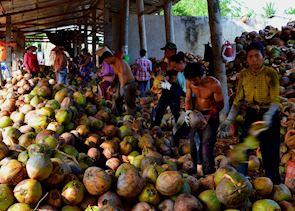 Coconut peeling factory, Mekong Delta