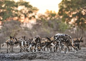 African wild dogs, Mana Pools