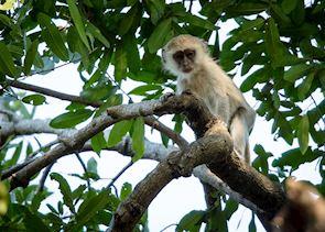 Vervet monkey, Kafue National Park