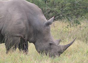 White rhino in The Sabi Sabi Wildtuin