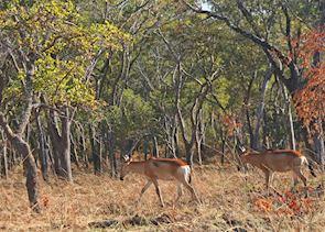 Lichtenstein's hartebeests, Kafue National Park