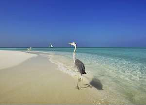 Heron on the Beach, Velassaru Island