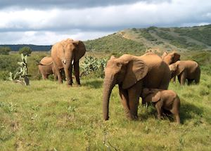 Elephant herd, Amakhala Game Reserve