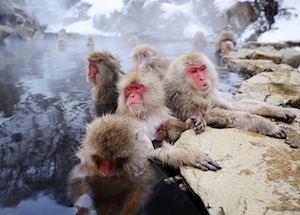 Japanese Snow Monkeys, Yudanaka Onsen