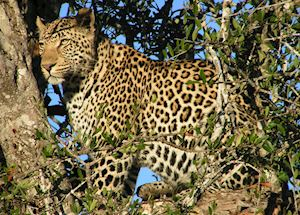 Leopard, The Sabi Sand Wildtuin
