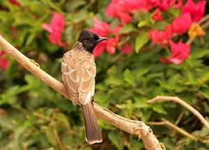 Indian Red-vented Bulbul