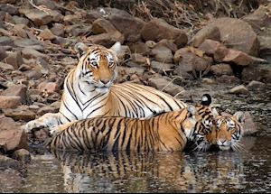Female tiger and her cubs, Ranthambhore National Park