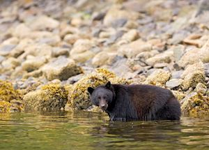 Black bear in water