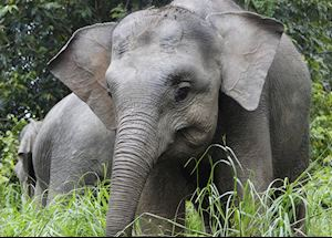 Pygmy Elephant Calf on the Kinabatangan River