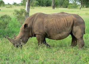 Rhino, Greater Kruger Park