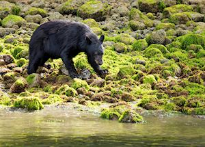 Black Bear, Tofino