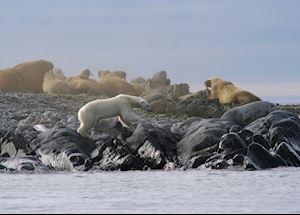 A Polar Bear edges its way round a Walrus colony, Svalbard