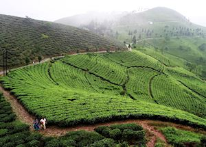 Tea plantations outside Darjeeling