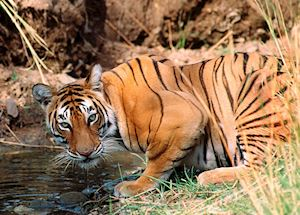 Tiger drinking, Kanha National Park