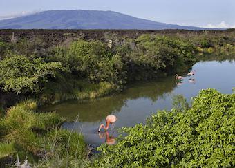 Flamingoes on Isabela island