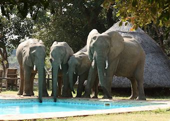 Elephant at the pool at Flatdogs Camp